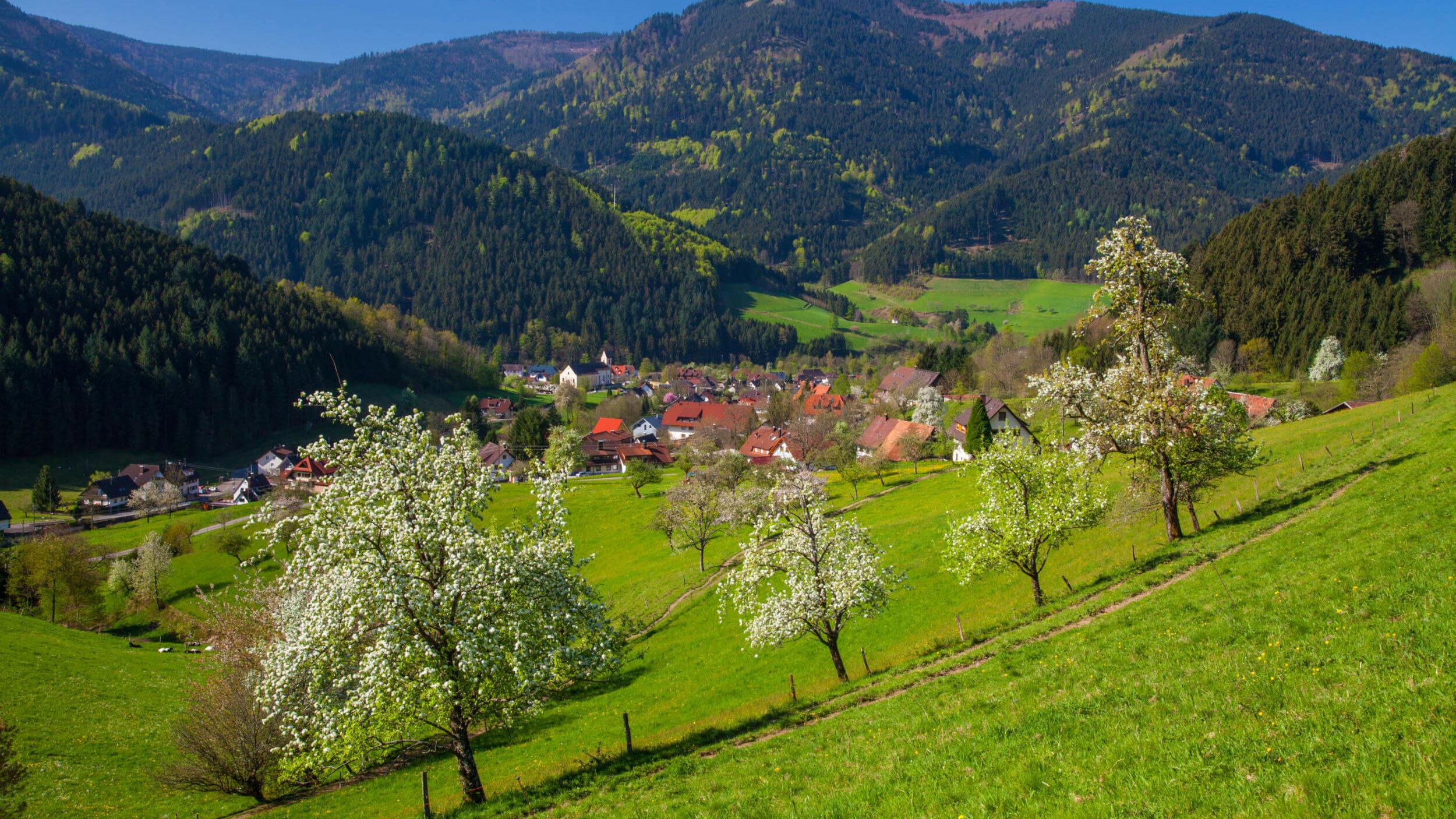 Blühende Apfelbäume im Tal