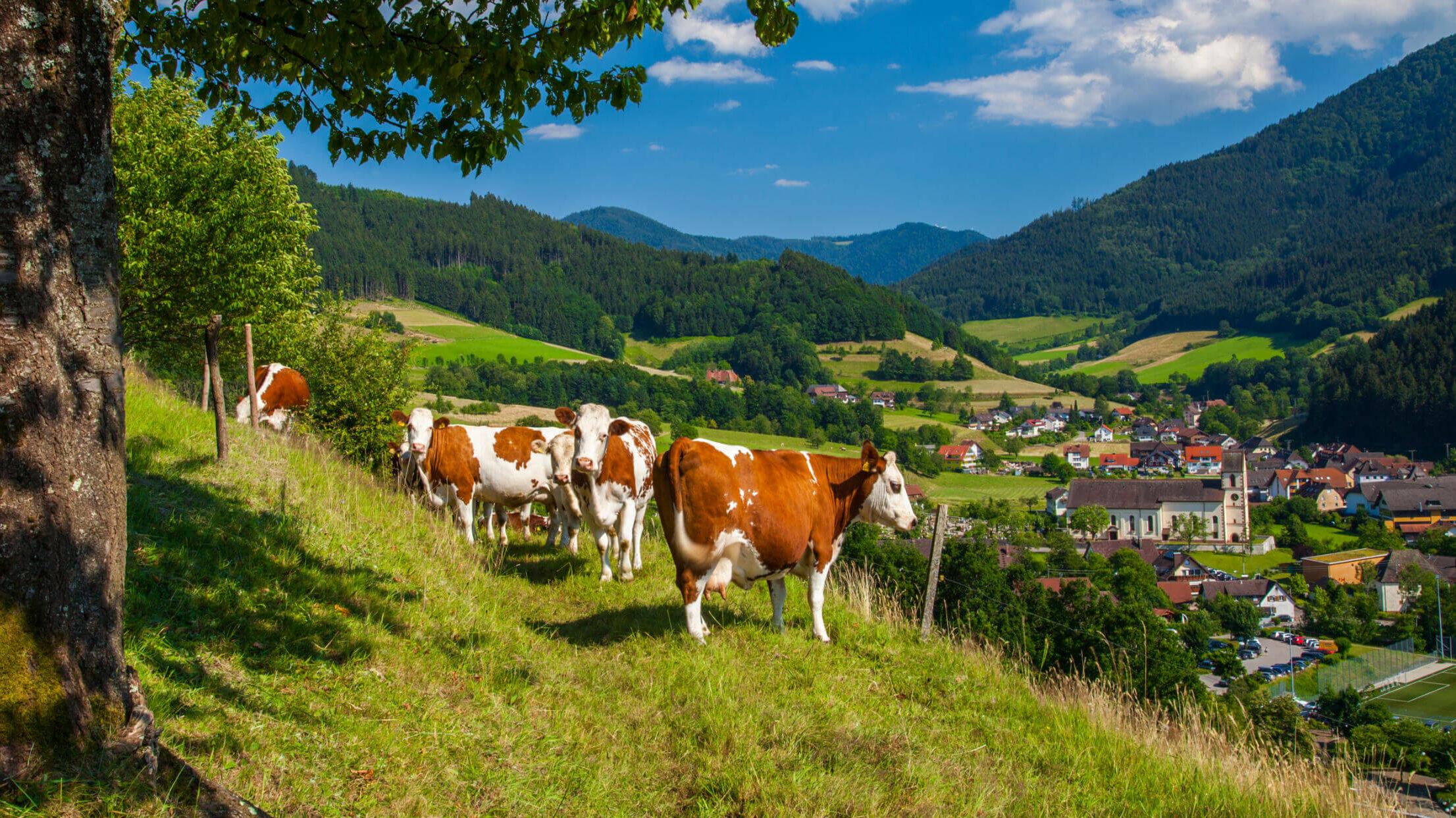 braun gefleckte Kühe auf einer Wiese